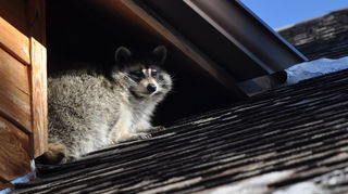 q racoons more wildlife, outdoor living, pest control, pets animals, ponds water features, Rocky Raccoon at my house