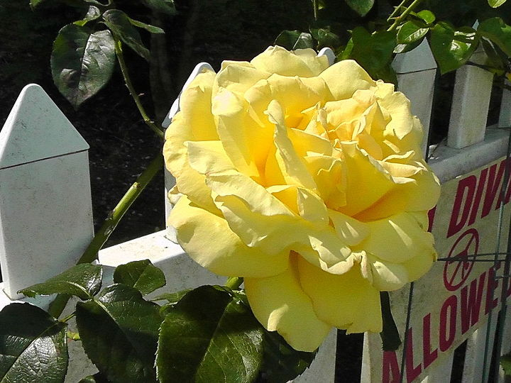 This is my yellow climbing rose.