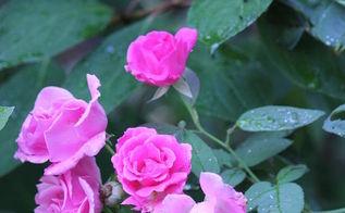 blooming in my garden now coneflowers hydrangeas allium and even a few roses, flowers, gardening, hydrangea, Rosa Zephirine Drouhin