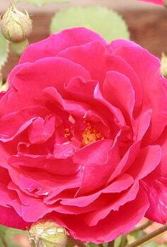 roses in the yard, gardening