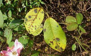 black spot disease on rose leaves, gardening, rose black spot