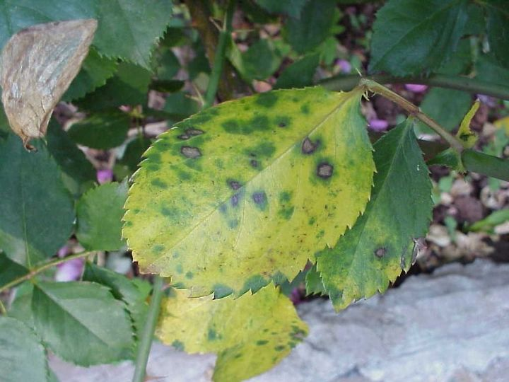 rose black spot