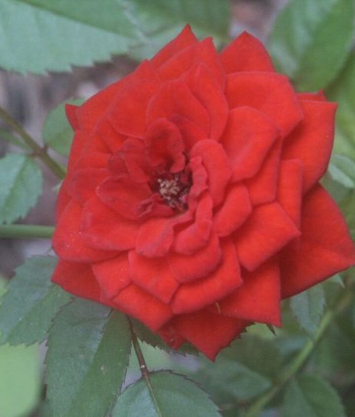 when you select your roses for valentine s day look at the shape of the flower buds, flowers, gardening