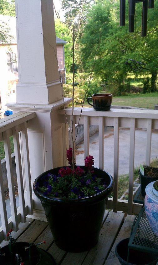 rose of sharon hibiscus combo container, container gardening, flowers, gardening, hibiscus