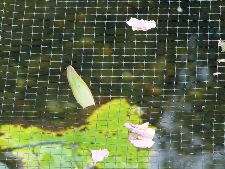 Parts of Lily on TOP of birdnetting