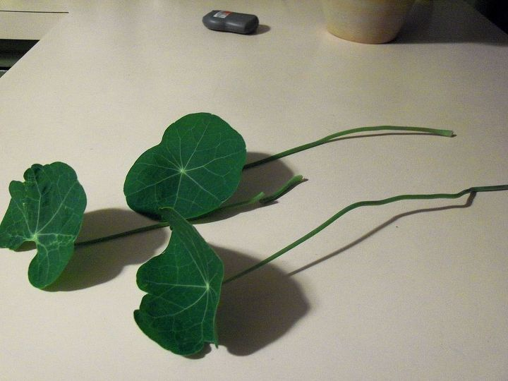 a few of the nasturtium leaves- they're very soft!