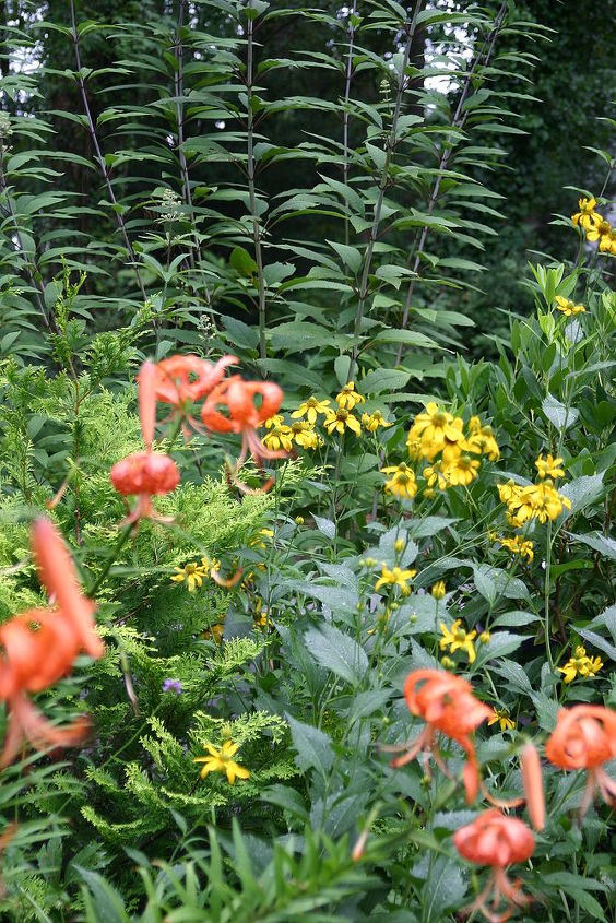 Tall perennial of the day the cutleaf coneflower is a cold hardy tall perennial of the day the cutleaf coneflower is a cold hardy perennial that is mightylinksfo