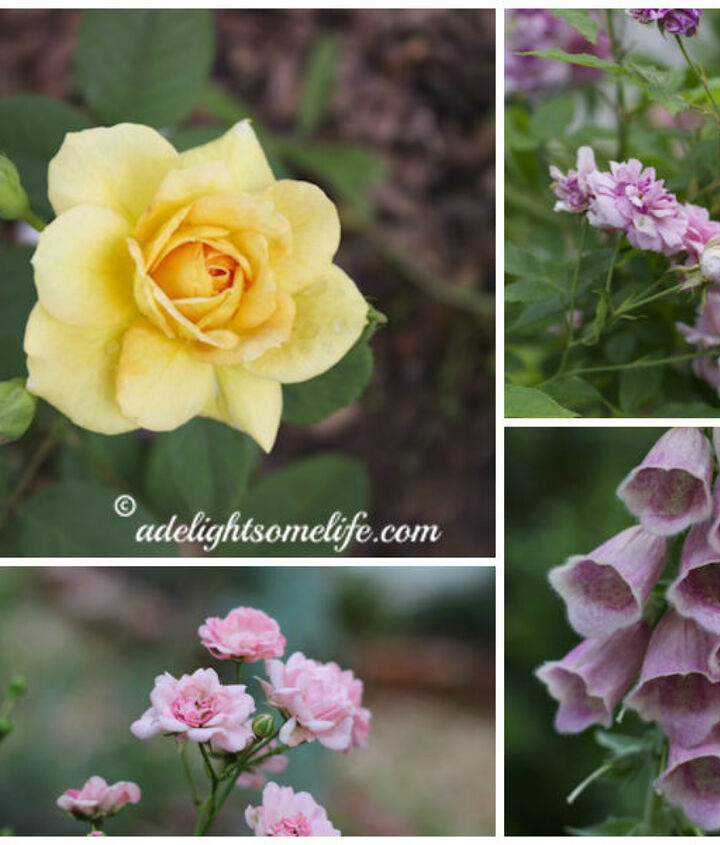 these roses are doing well, but I have had two that have not thrived. I had to make the difficult decision to remove these rose bushes