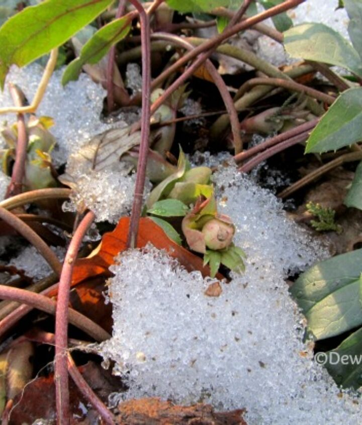 Hellebore buds peeking through the snow.