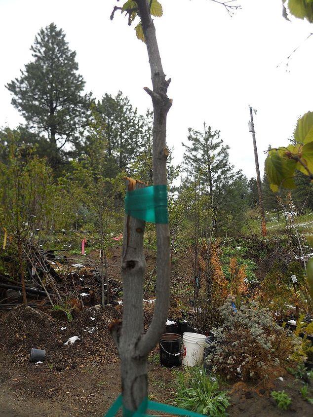 more about saving a broken tree, gardening, landscape