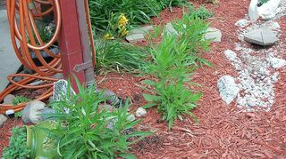 , some of the black eyed susan plants that I transplanted doing well
