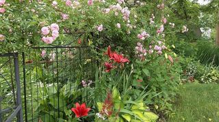 , pink rose growing on the fence to the arbor I brought it back from near death when I bought the property