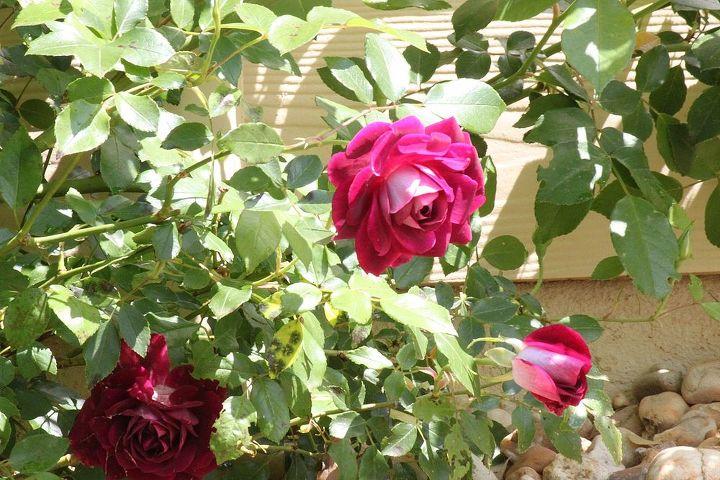 q black spots fungus on roses, gardening