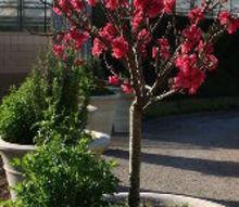 edible and ornamental, container gardening, flowers, gardening, Dwarf peach Bonanza