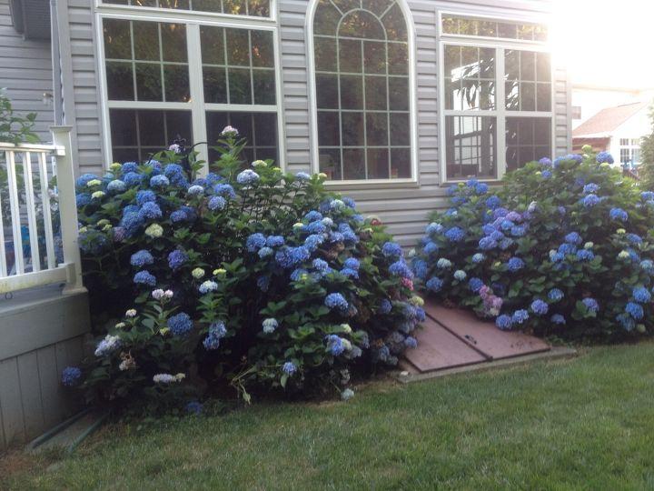 hydrangeas, flowers, gardening, hydrangea