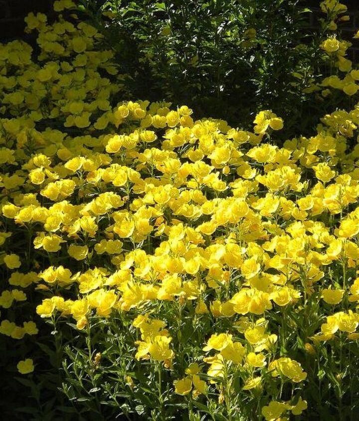 Buttercups (early June)