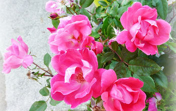 Easy Care Gardening with Knockout Roses!