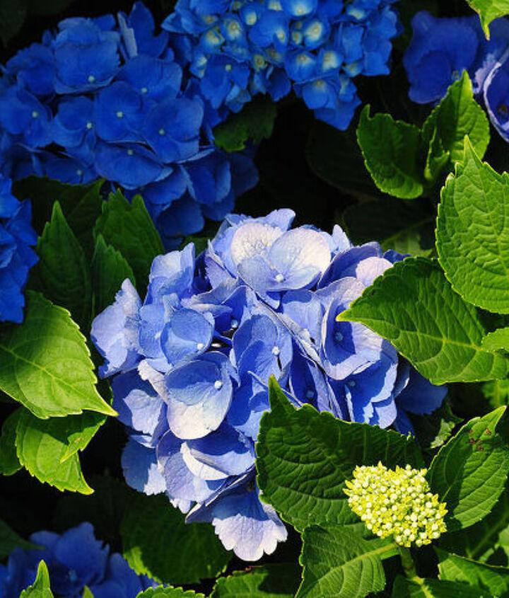 Blue Hydrangeas from my Garden.