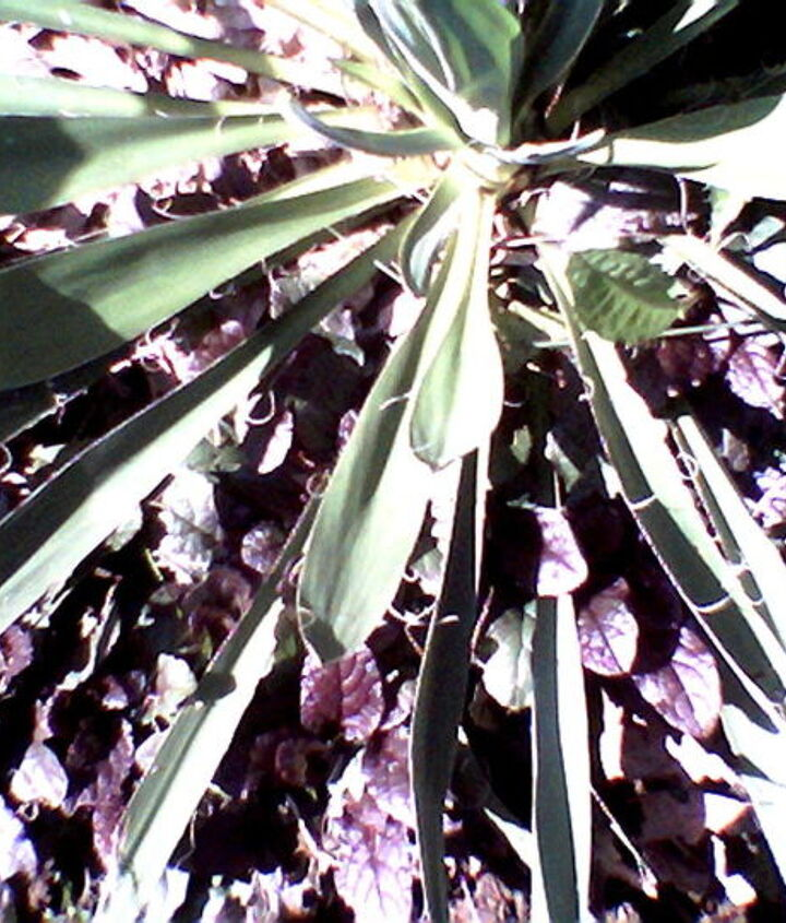 I have Ajuga growing beneath my Yucca - never know that purple creeper will show up.   I have tried transplanting to places I would prefer it to grow - but never know if it will be there next year.