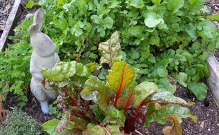 summer harvest flea market gardening style, gardening, Betty Sneeringer s rabbit proof chard