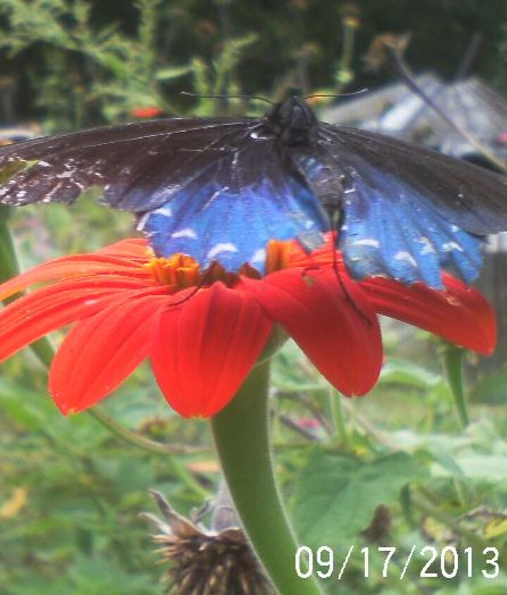 so happy we still have flowers blooming and a few butterflies, flowers, gardening, pets animals