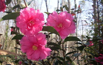Camellia sasanqua 'shishi gashira' is one of my favorite camellias because it blooms in December, January and sometimes