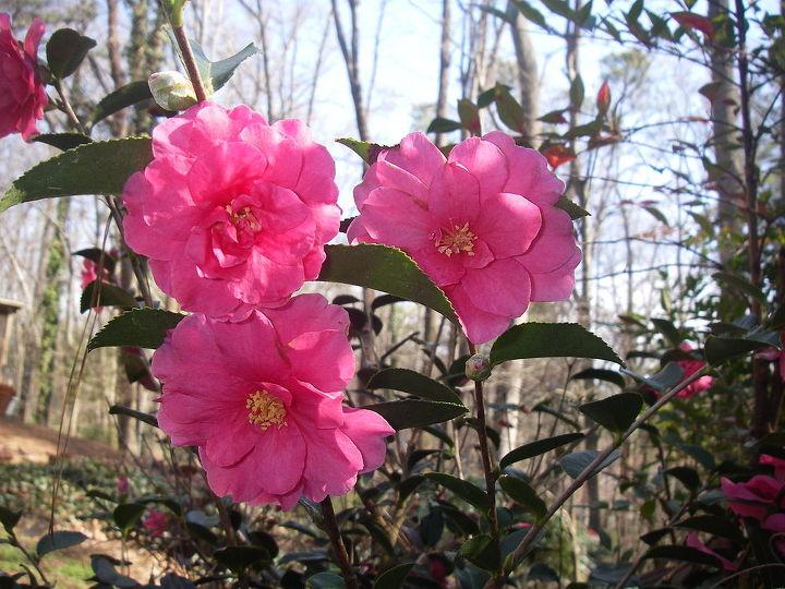 Camellia sasanqua 'Shishi Gashira', a prolific winter bloomer