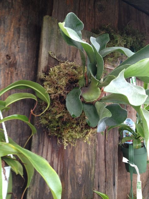 How To Mount A Staghorn Fern Hometalk