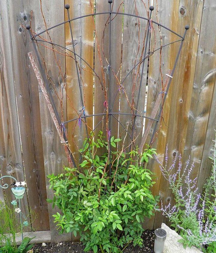 q william baffin climbing rose won t bloom, flowers, gardening