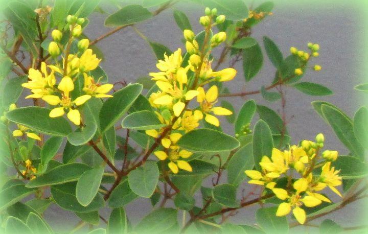 Slender goldshower shrub