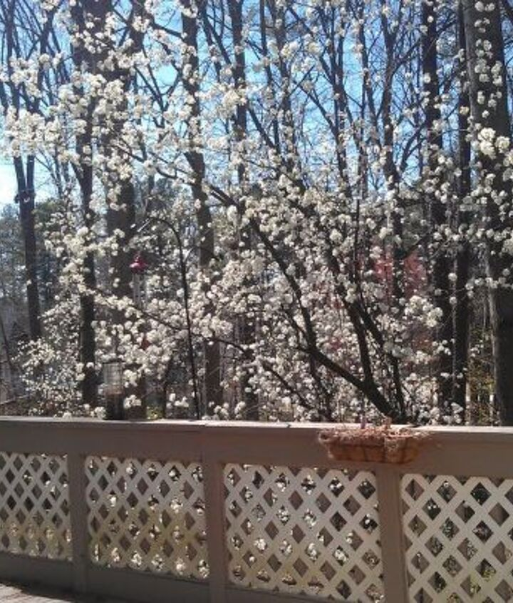 bradford pears blooming view from my deck, gardening, outdoor living