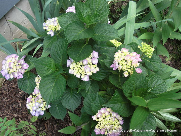 gardening, flowers, gardening, hydrangea