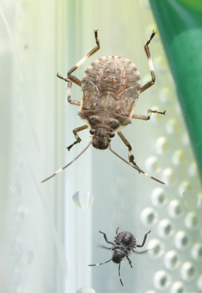 brown marmorated stinkbug, pest control, brown marmorated stinkbug Note the white bands on the antennae and legs