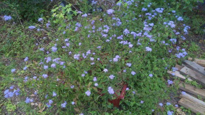 purple flowers, flowers, gardening
