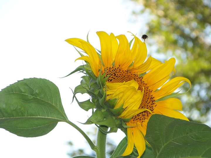i planted a sunflower seed and it grew higher than my house got many yellow finches, gardening