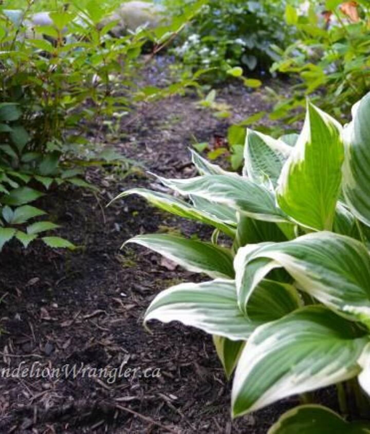 starlette s of the shade garden, flowers, gardening, Hosta s are a staple of our West Coast shade gardens There are so many varieties you can literally pick your favorite flavor I m partial to Proven Winners Hudson Bay with its tri coloured leaves They look fab in summer bouquets