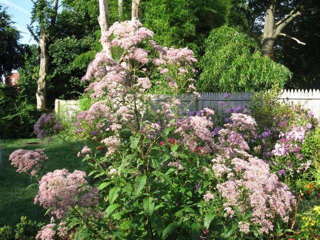 eupatorium purpureum, gardening