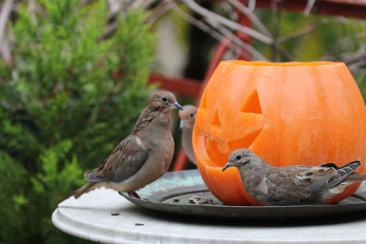 The lone Jack-O-Lantern also enjoys eavesdropping on mourning doves' convos!INFO on Mourning Doves @ http://bit.ly/13kijm0 AND @ http://bit.ly/17AAd1x