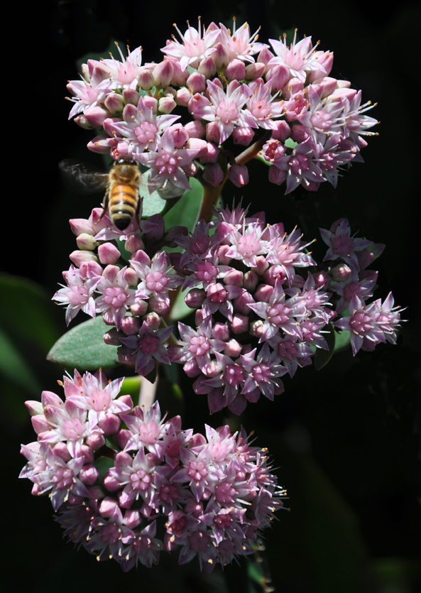 The beautiful flowers of Sedum 'Matrona' Sun or part shade. 60-76 cm tall. Spacing is 24 cm.