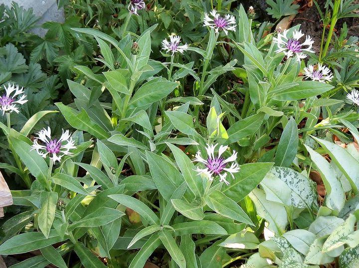 Centaurea - Perennial Bachelor's Button