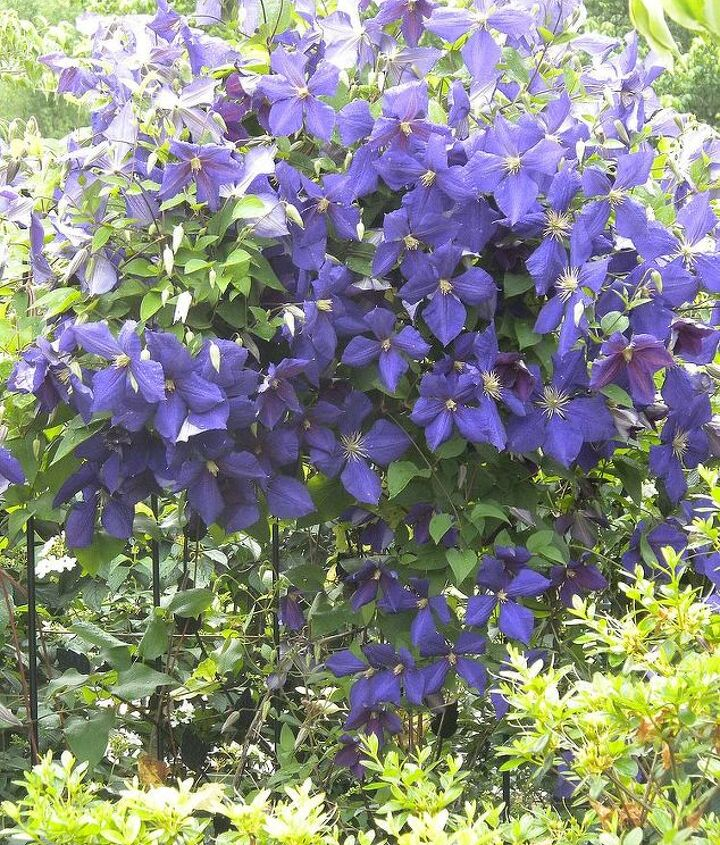 Clematis (late May, early June)