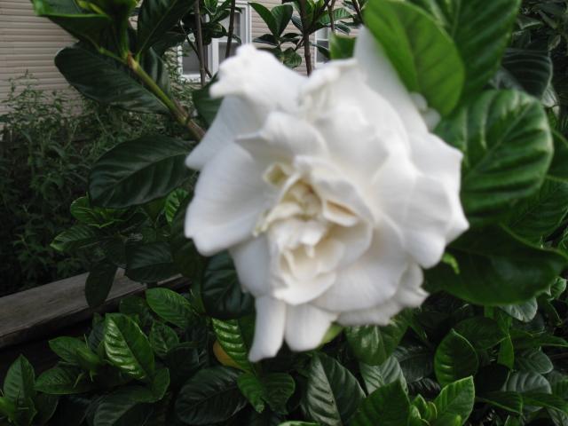 gardenia flowers mean secret love purity and joy, flowers, gardening