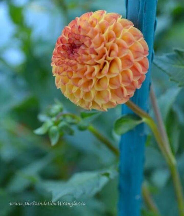 The perfectly perfect pom pom dahlias.