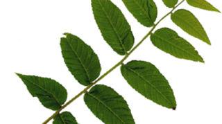 , black walnut leaf