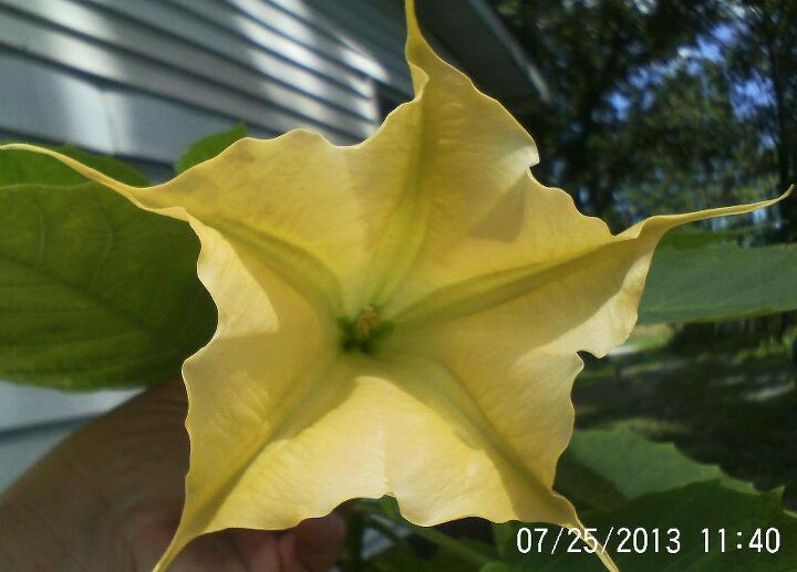 Angel's Trumpet took us 2 yrs to see bloom, beautiful