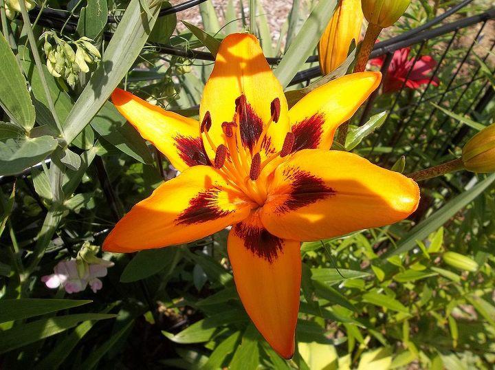 lilies/2013