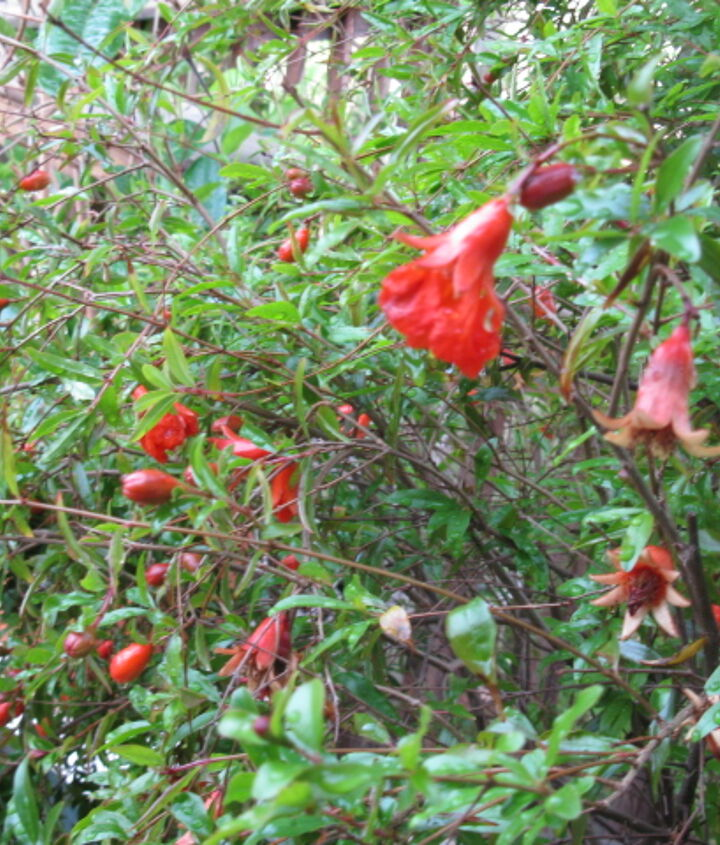 pomegranate tree, gardening