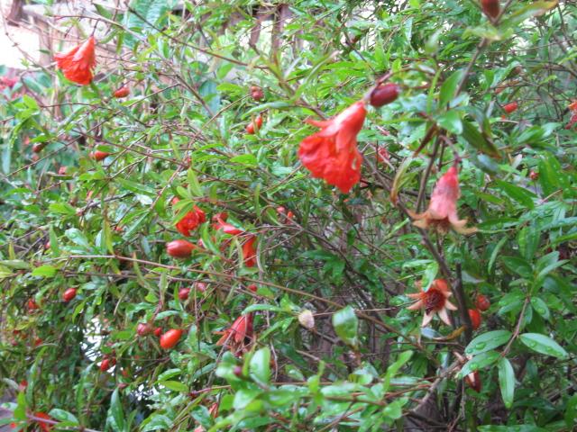 pomegranate tree, gardening