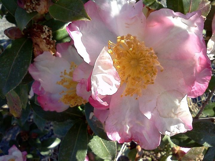 some fall color thoughts to brighten your day, gardening, seasonal holiday d cor, Camellia Apple Blossom