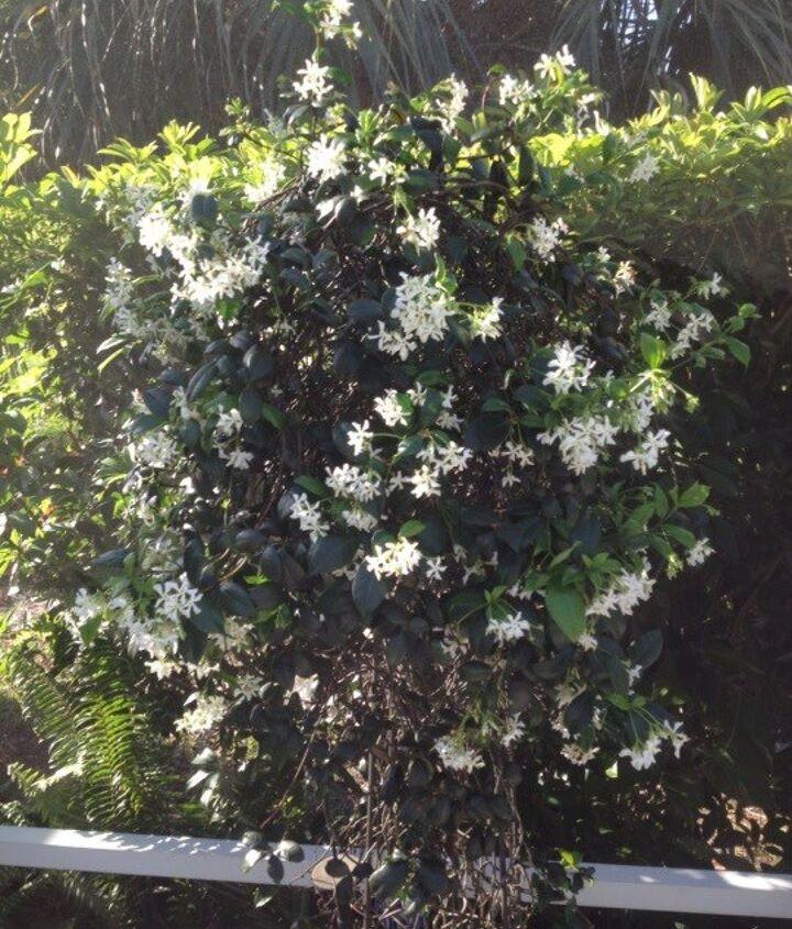 My Jasmine is so fragrant